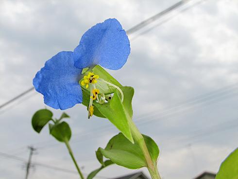 ツユクサの開花