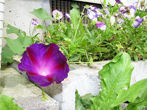 こぼれ種から開花するアサガオ