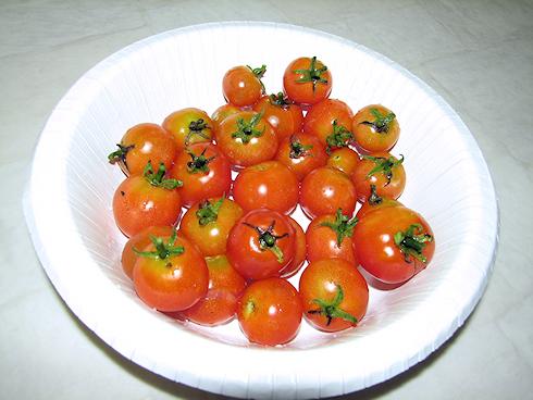 矮性ミニトマトの二度目の収穫