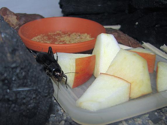 コオロギもリンゴ
