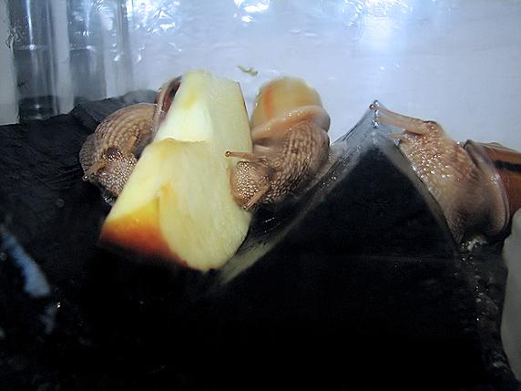 リンゴ大好きカタツムリ