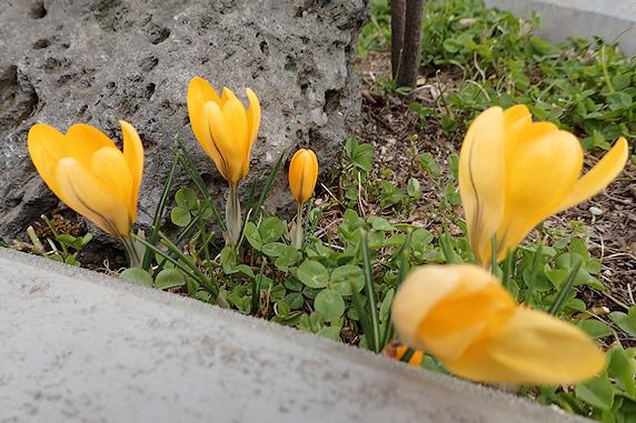 野原風花壇にクロッカスが咲く