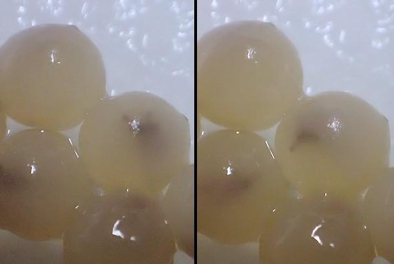 筋なし4兄弟が初めての産卵