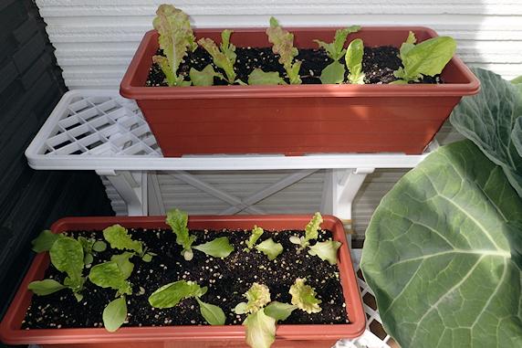 台風に備えるベランダ菜園