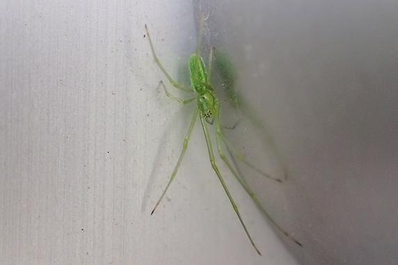 居座るウロコアシナガグモ