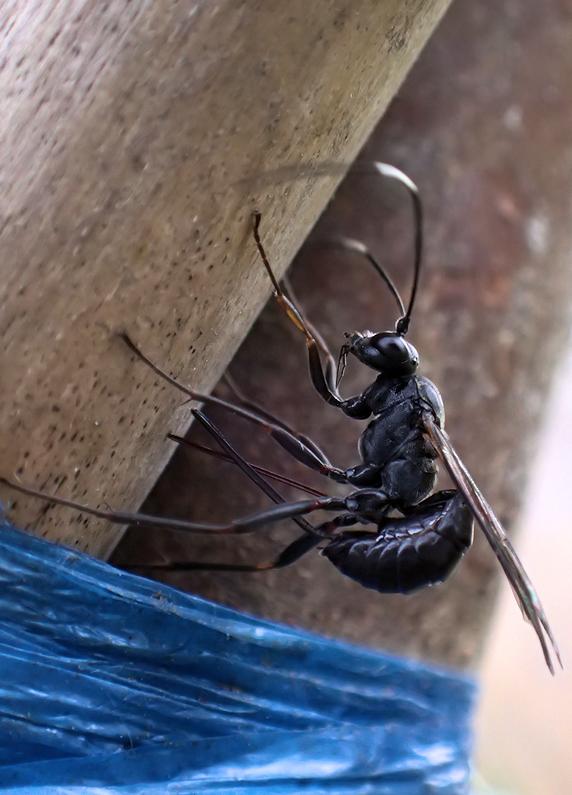 マツムラトガリヒメバチの産卵