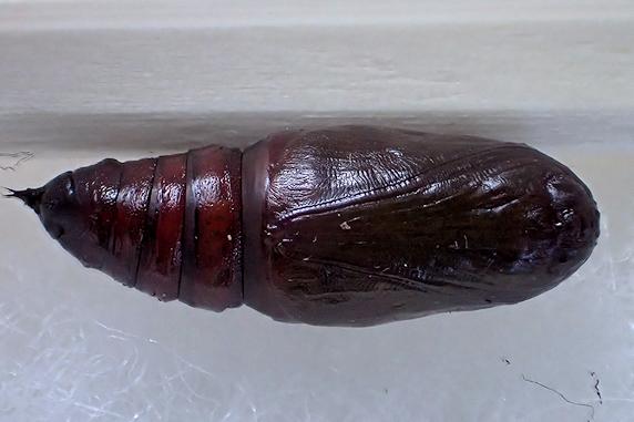 ヨモギエダシャクのサナギ