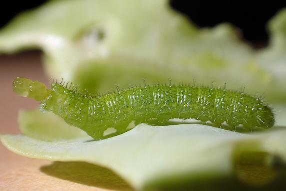 スジグロシロチョウの幼虫がキャベツにいた