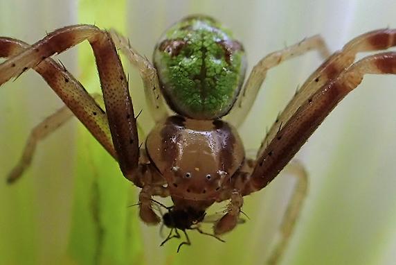 コバエを捕食するハナグモ