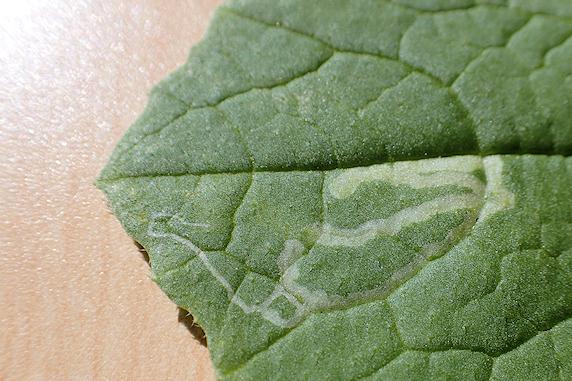 ミニ大根のエカキムシを採取