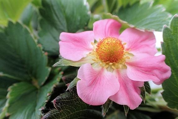 四季成りイチゴの開花
