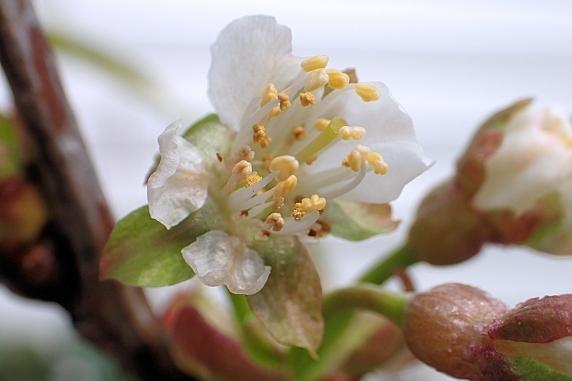 今年も変なサクランボの花