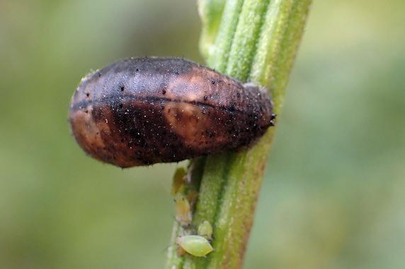 ヒラタアブの幼虫とサナギ