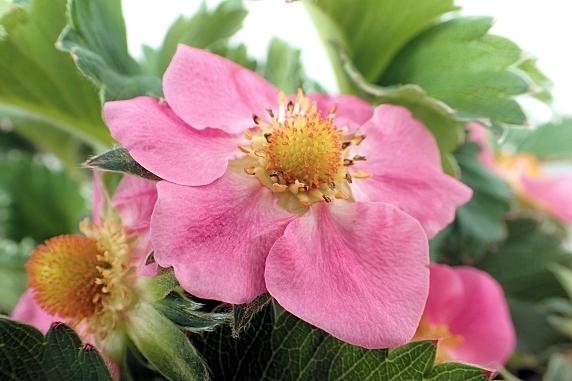 開花が進む四季なりイチゴ