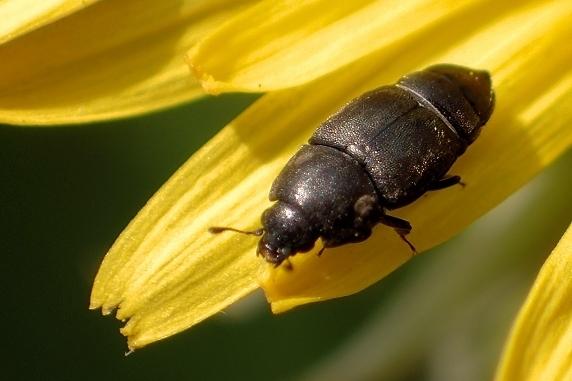 タンポポの花粉を食べるクロハナケシキスイ
