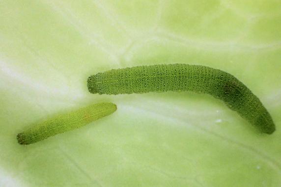 スジグロシロチョウ幼虫育つ