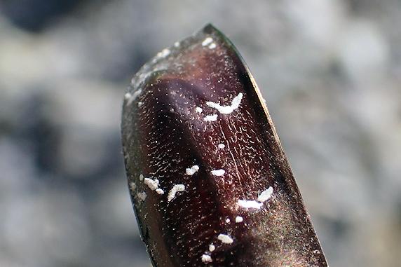 シロテンハナムグリの鞘翅を発見