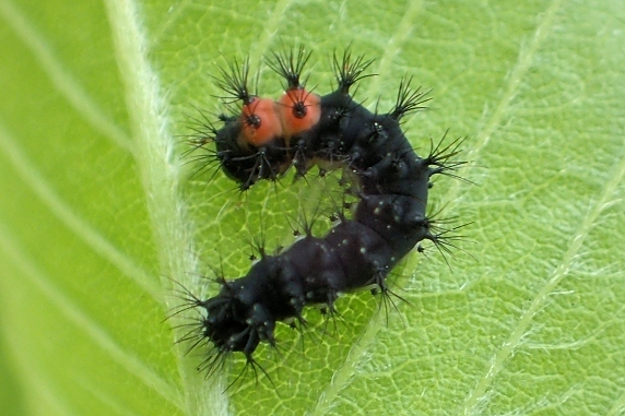 ヒメヤママユの幼虫とマユ