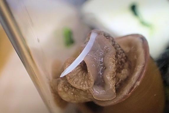 カタツムリの恋矢の接写
