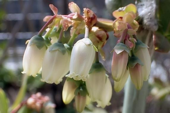 定植したブルーベリーが開花