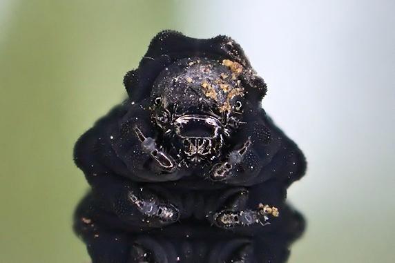 カブラハバチの幼虫保護