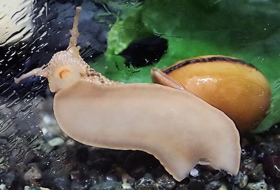 【動画】カタツムリの口の動き