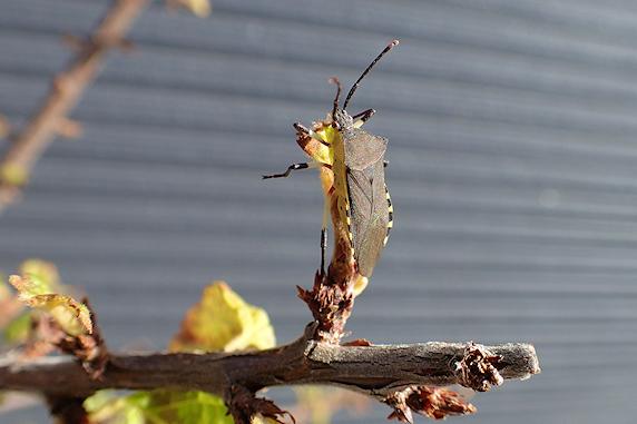 キバラヘリカメムシの日光浴