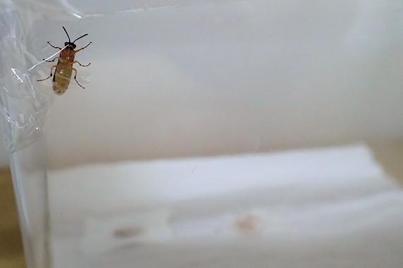 カブラハバチが羽化