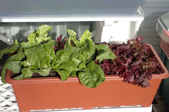 ベランダ菜園の現状