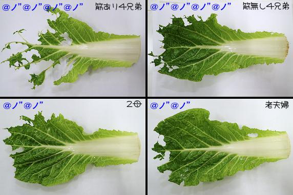[48時間後]白菜の食べ具合の比較