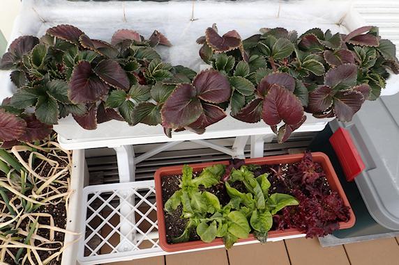 ベランダの越冬野菜