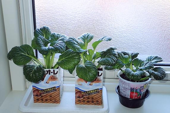 窓際菜園の小松菜