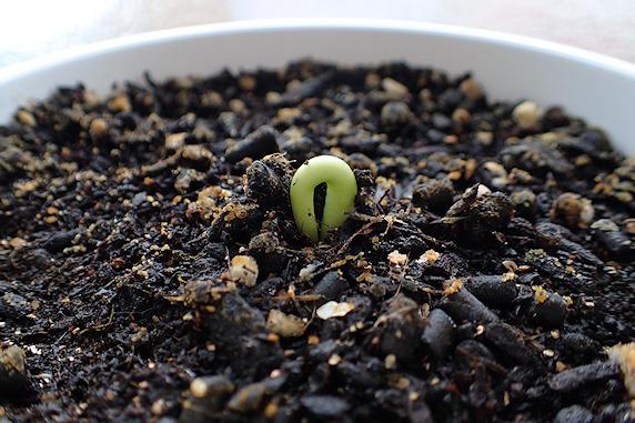 ゆっくり生長の富有柿の芽