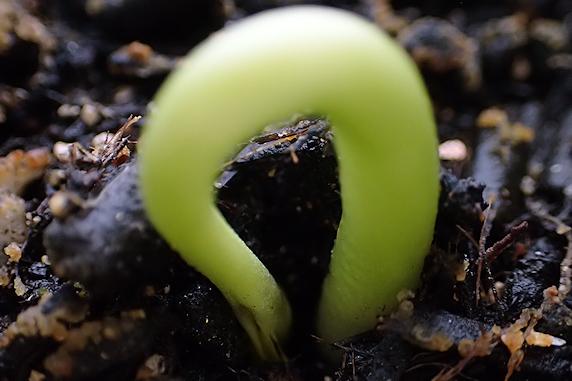 もうすぐ葉がお目見えの富有柿