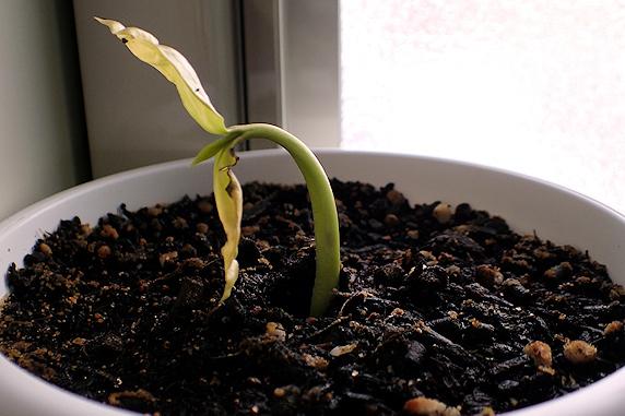 富有柿発芽完了