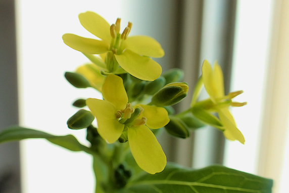 窓際小松菜開花
