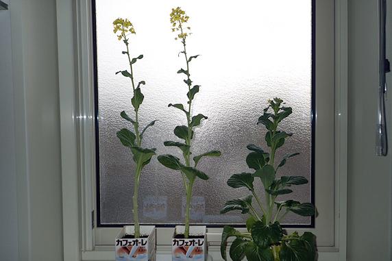 窓際小松菜全部開花