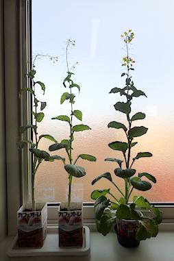 人生謳歌の窓際小松菜