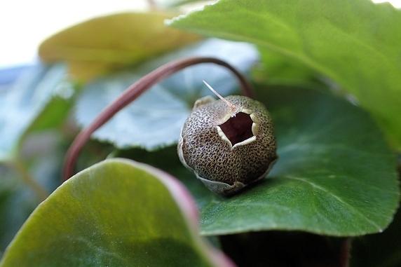 ミニシクラメンの種を採取