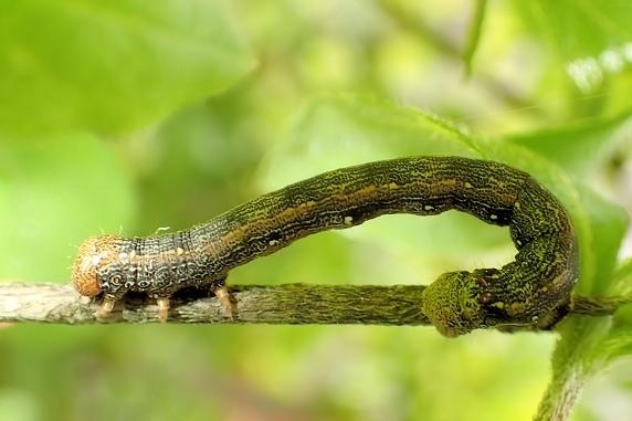 不明幼虫3種