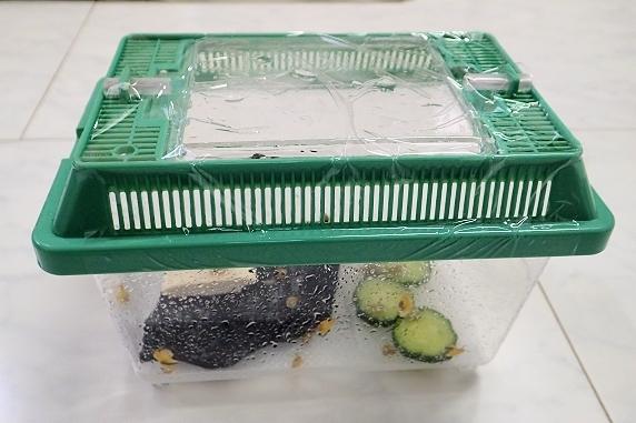 カタツムリの赤ちゃん第2ステージ