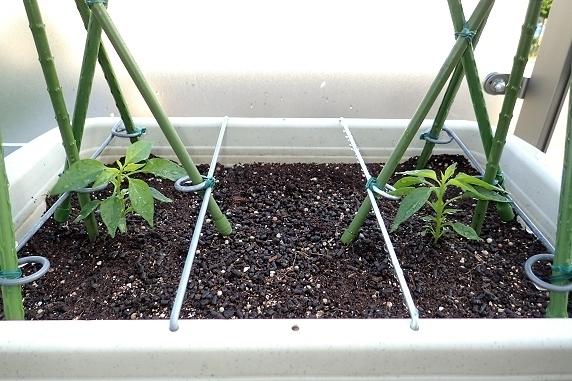トウガラシの定植