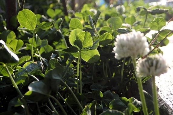 野原風花壇にクローバーの花が咲く