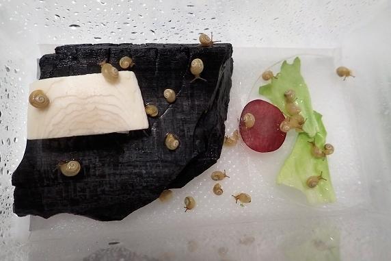 レッドグローブを食べるカタツムリ
