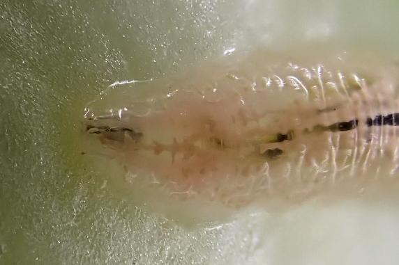 レタスの中にヒラタアブの幼虫がいた!
