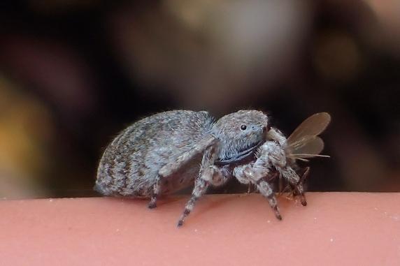 羽アリを捕食するネコハエトリ