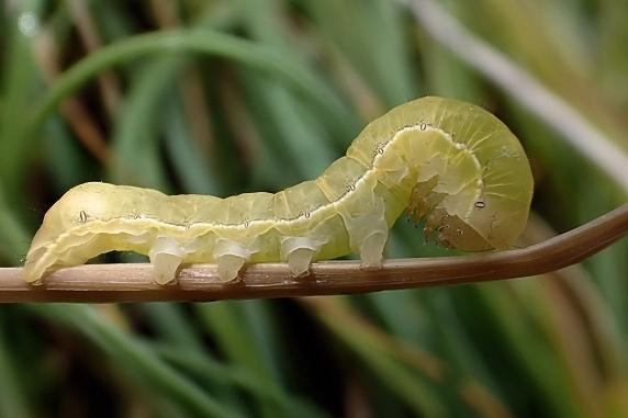 キバラモクメキリガの幼虫参上