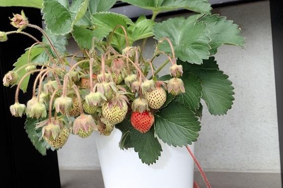 はつか大根と四季なりイチゴの収穫