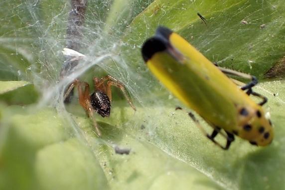 クサグモの幼体の巣