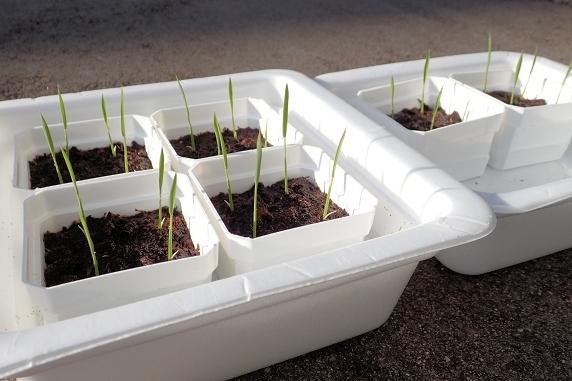 バケツ稲の苗が生長中